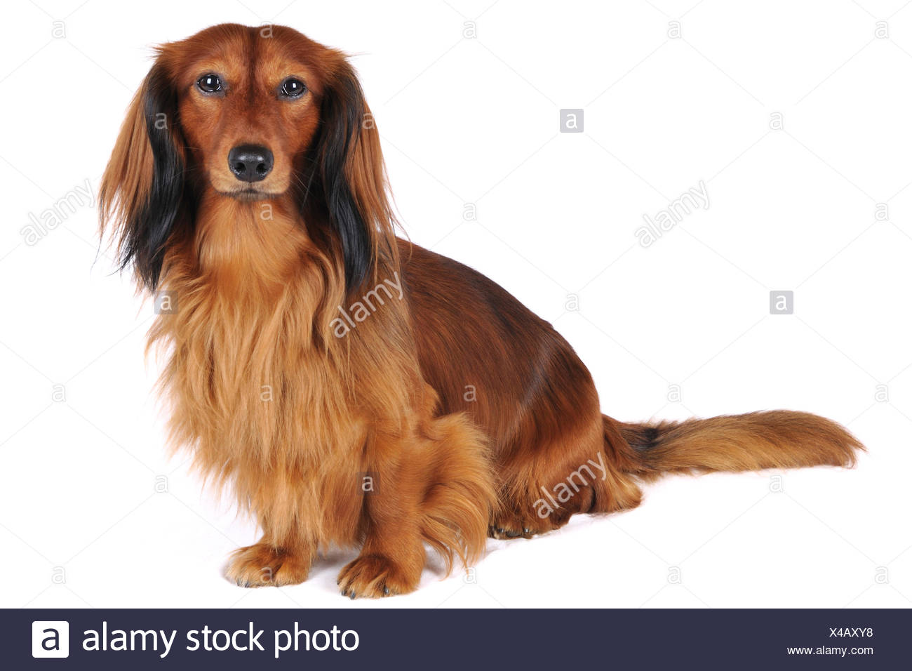 Long-haired Dachshund, Long-haired sausage dog, domestic dog (Canis lupus f. familiaris), full-length portrait, Germany - Stock Image