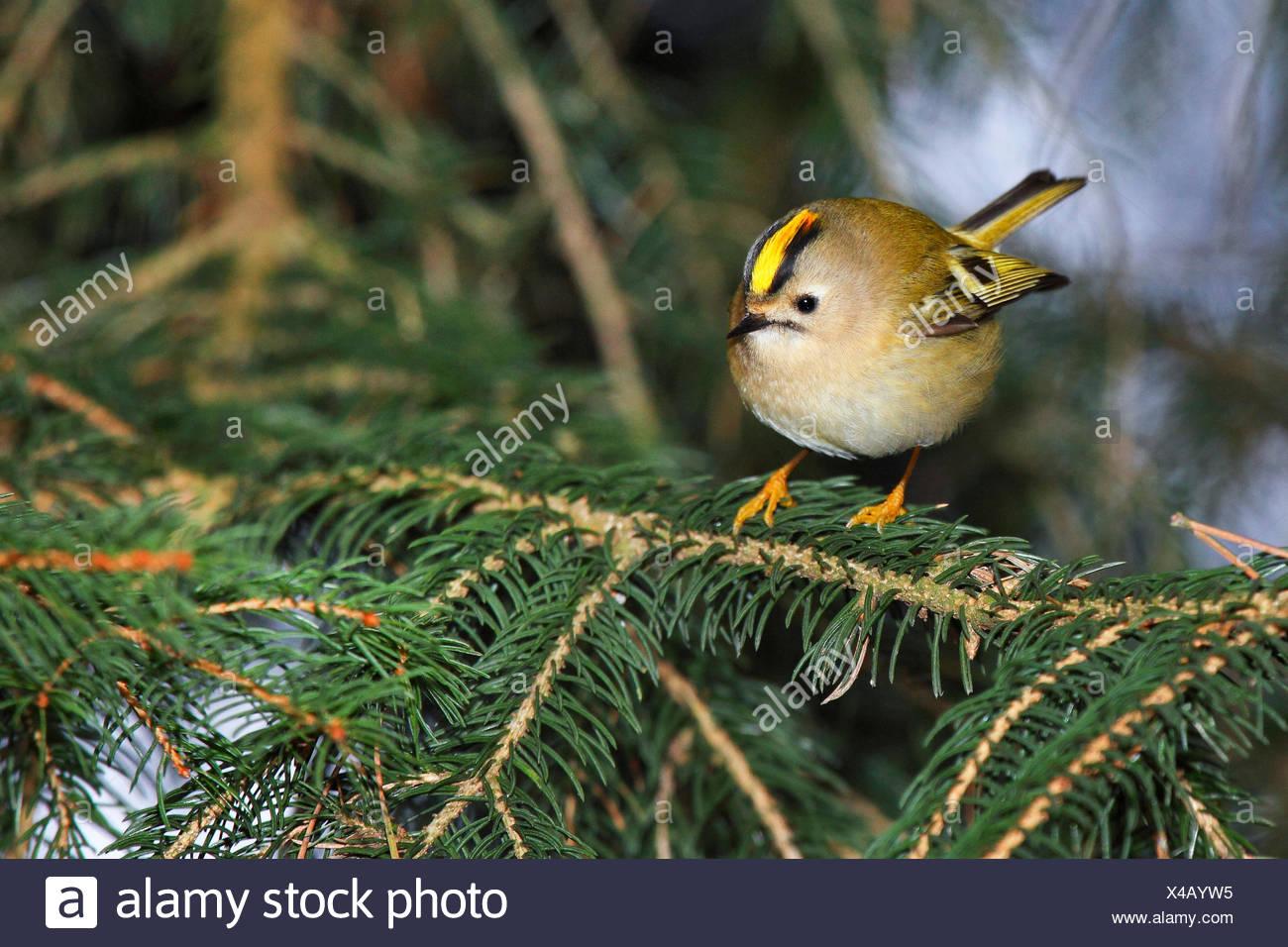 goldcrest (Regulus regulus), male on a twig, Germany - Stock Image
