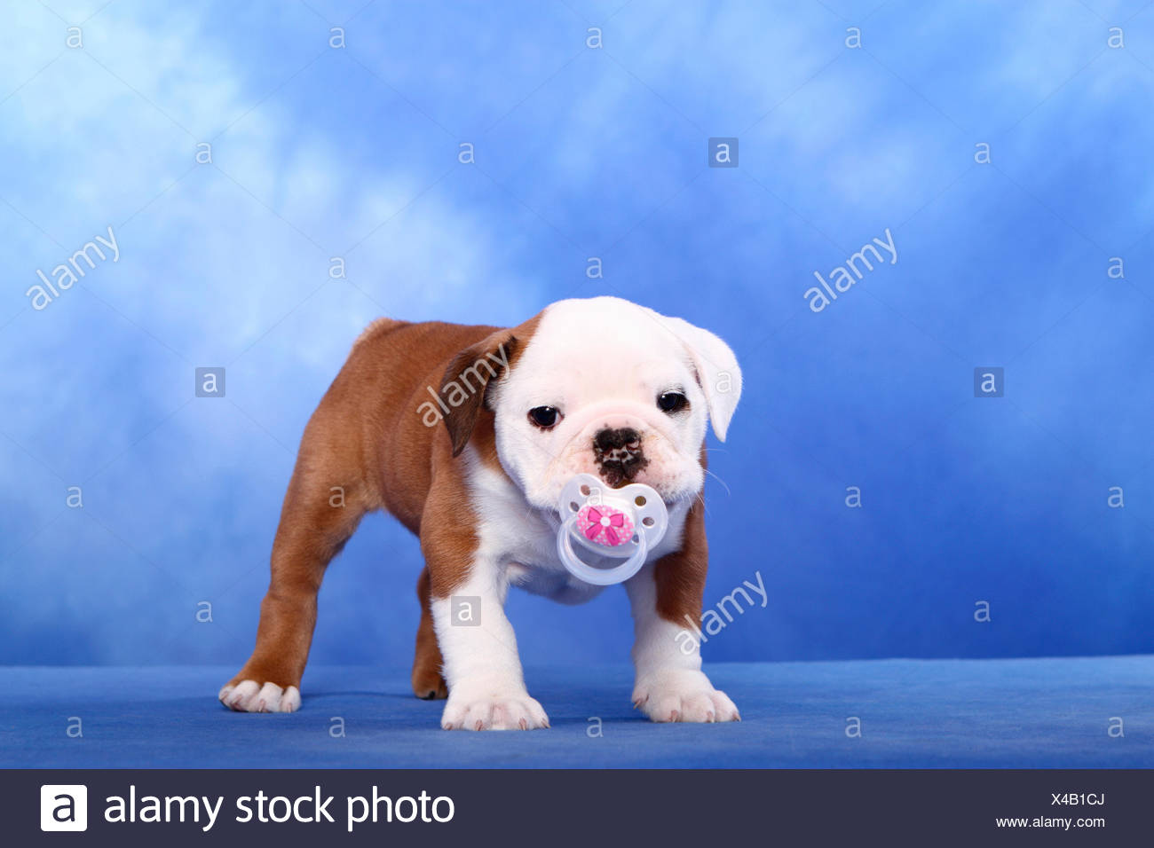 English Bulldog Puppy 7 Weeks Old Standing With A Baby Soother In Its Mouth Studio Picture Against A Blue Background Germany Stock Photo Alamy