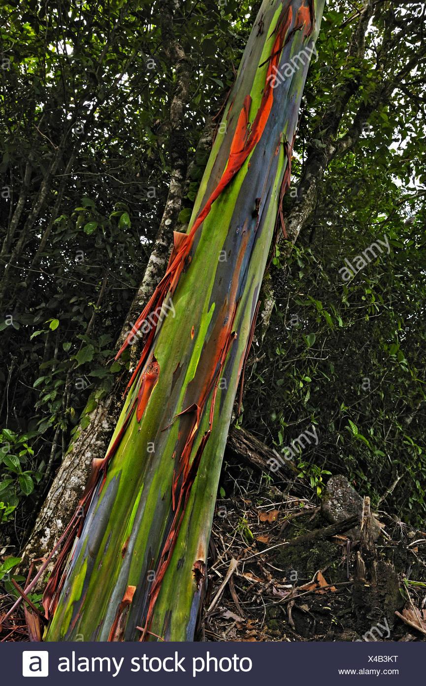Eucalyptus tree or Blue Gum (Eucalyptus), Alajuela Province, Costa Rica, Central America - Stock Image
