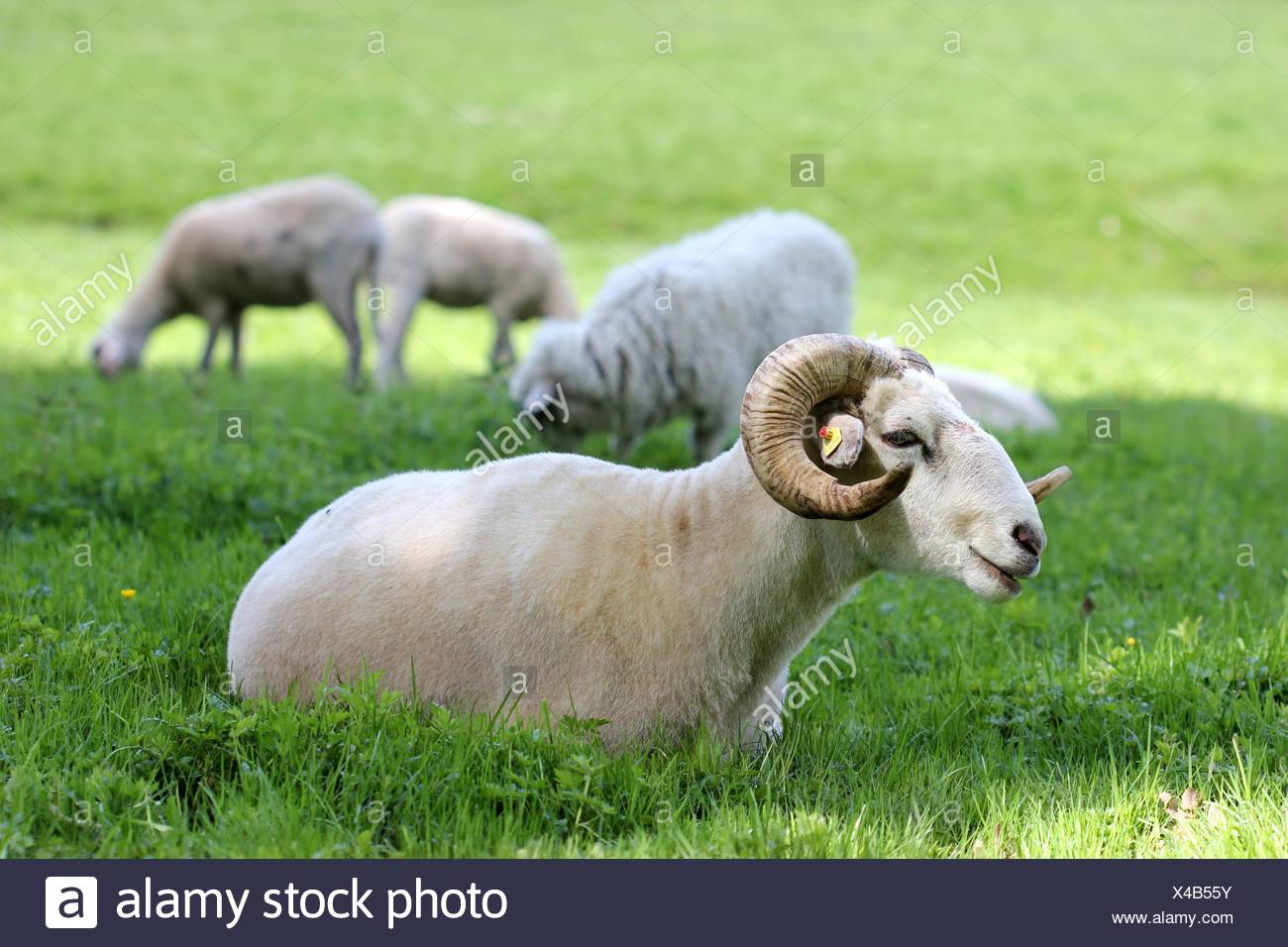 blank, european, caucasian, sheep, wool, spring, milk, cornets, twisted, shorn, - Stock Image