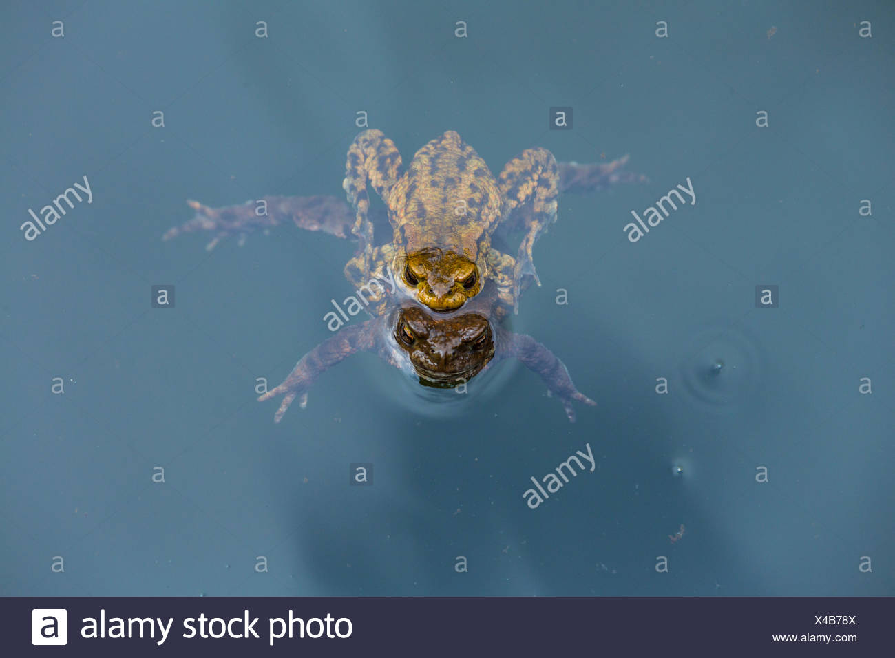 Common toads mating n water - Stock Image