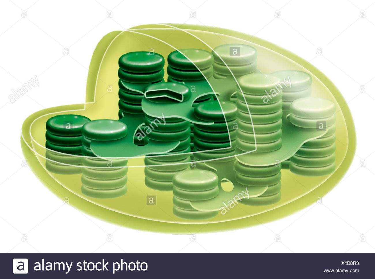 Chloroplast stock photos chloroplast stock images alamy chloroplast stock image ccuart Images
