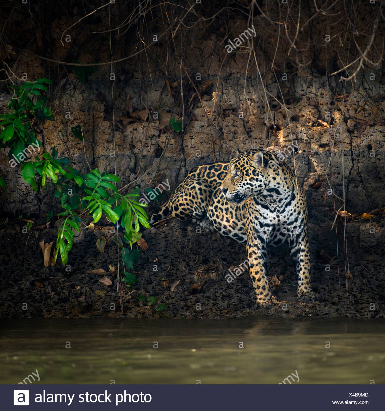 Wild male Jaguar at the edge of the Piquiri River, a tributary of Cuiaba River, Northern Pantanal, Brazil. - Stock Image