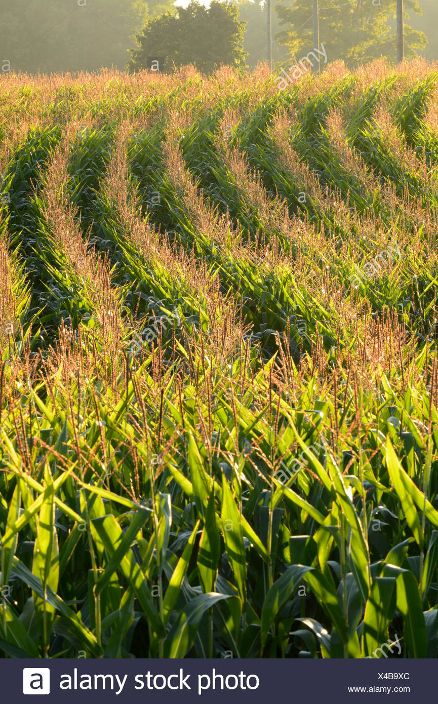 Corn field raked by low morning sun, nr Ariss, Ontario, Canada - Stock Image