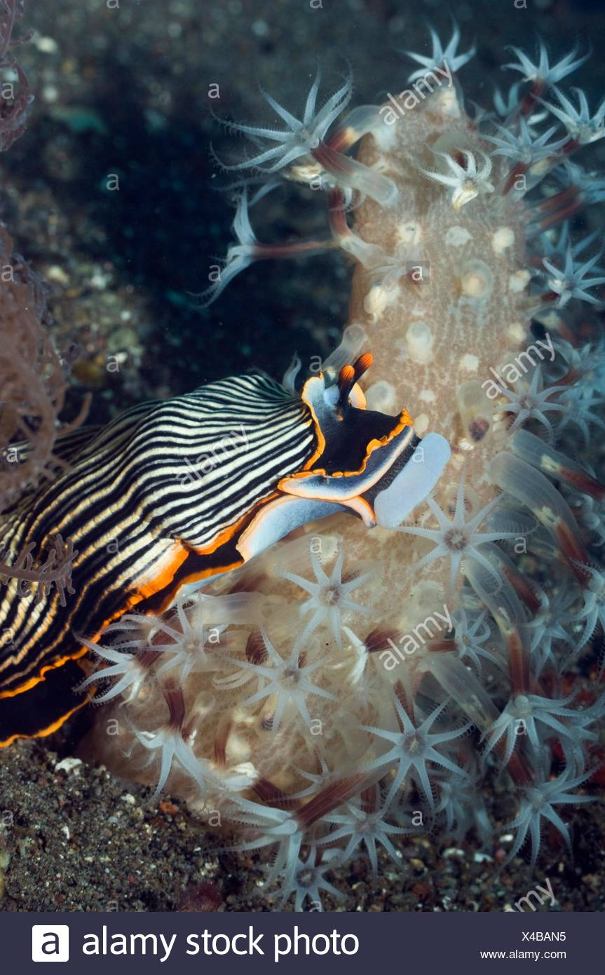Nudibranch Armina sp  has its buccal bulb everted to feed on sea pen Veretillum sp  This sea pen is usually only out at night - Stock Image