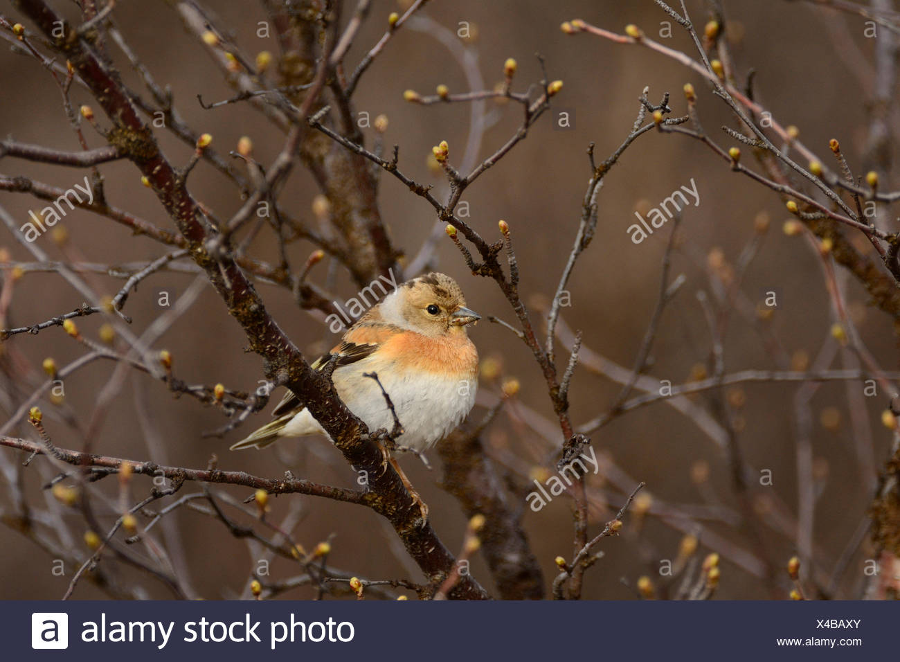 Brambling, Fringilla montifringilla, Fringillidae, finch, bird, animal, Einunndalen, Folldal, Hedmark, Norway - Stock Image