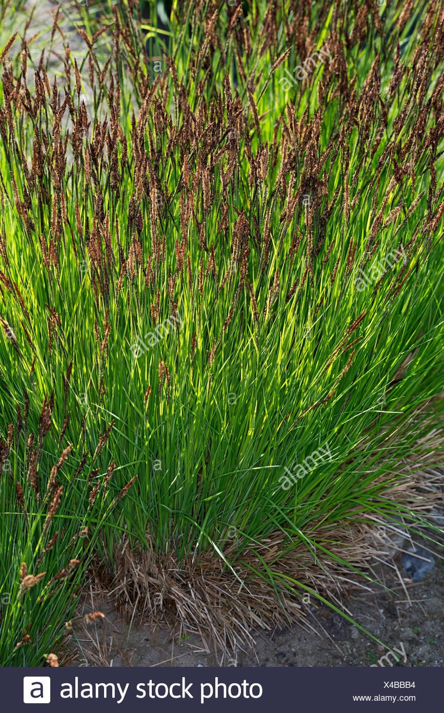 Steif-Segge, Steifsegge, Steife Segge (Carex elata), bluehend, Deutschland | tufted sedge, tufted-sedge, tussock sedge (Carex el - Stock Image