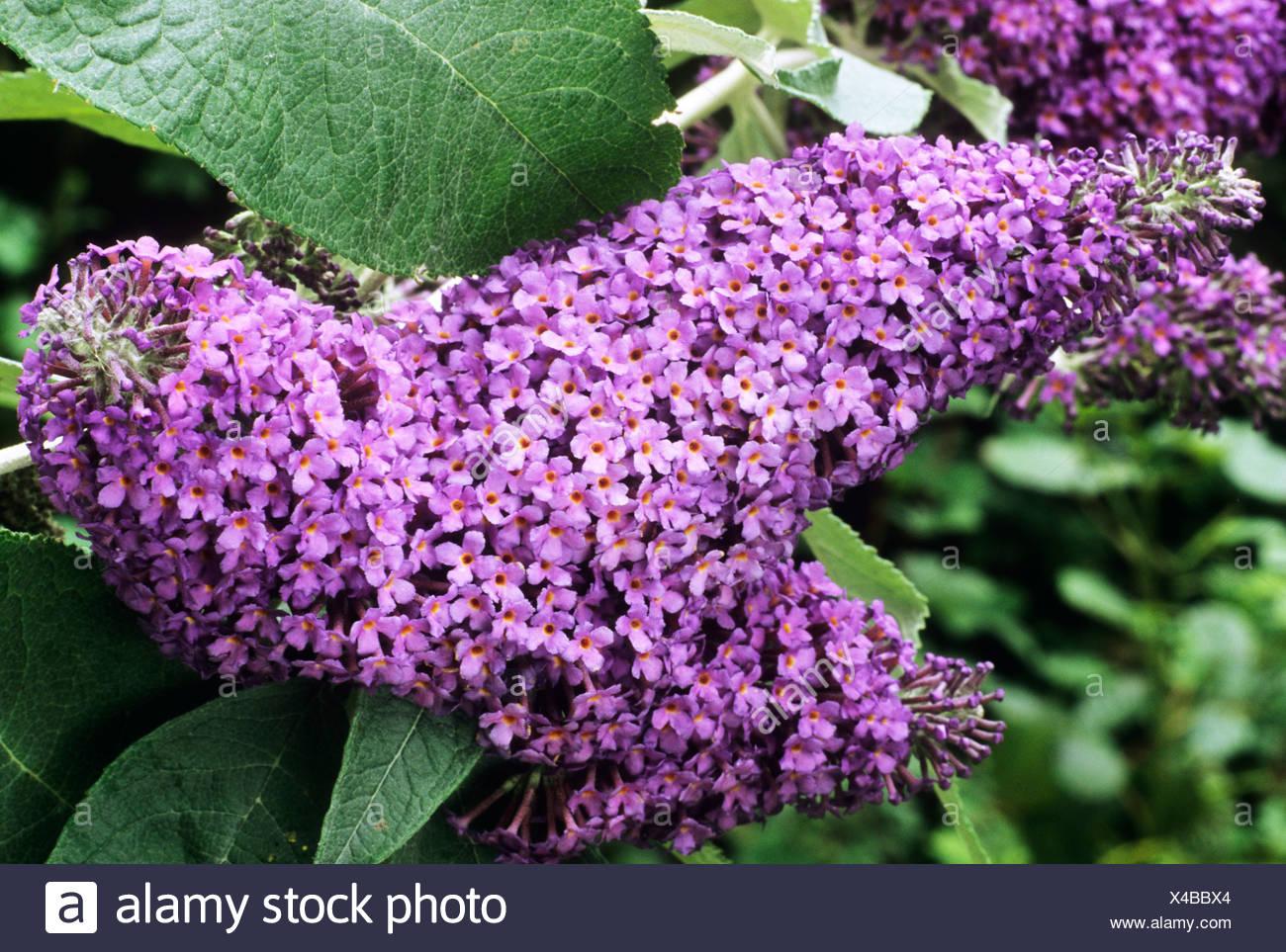 Buddleja Lochinch Purple Flower Flowers Buddlejas Buddleia