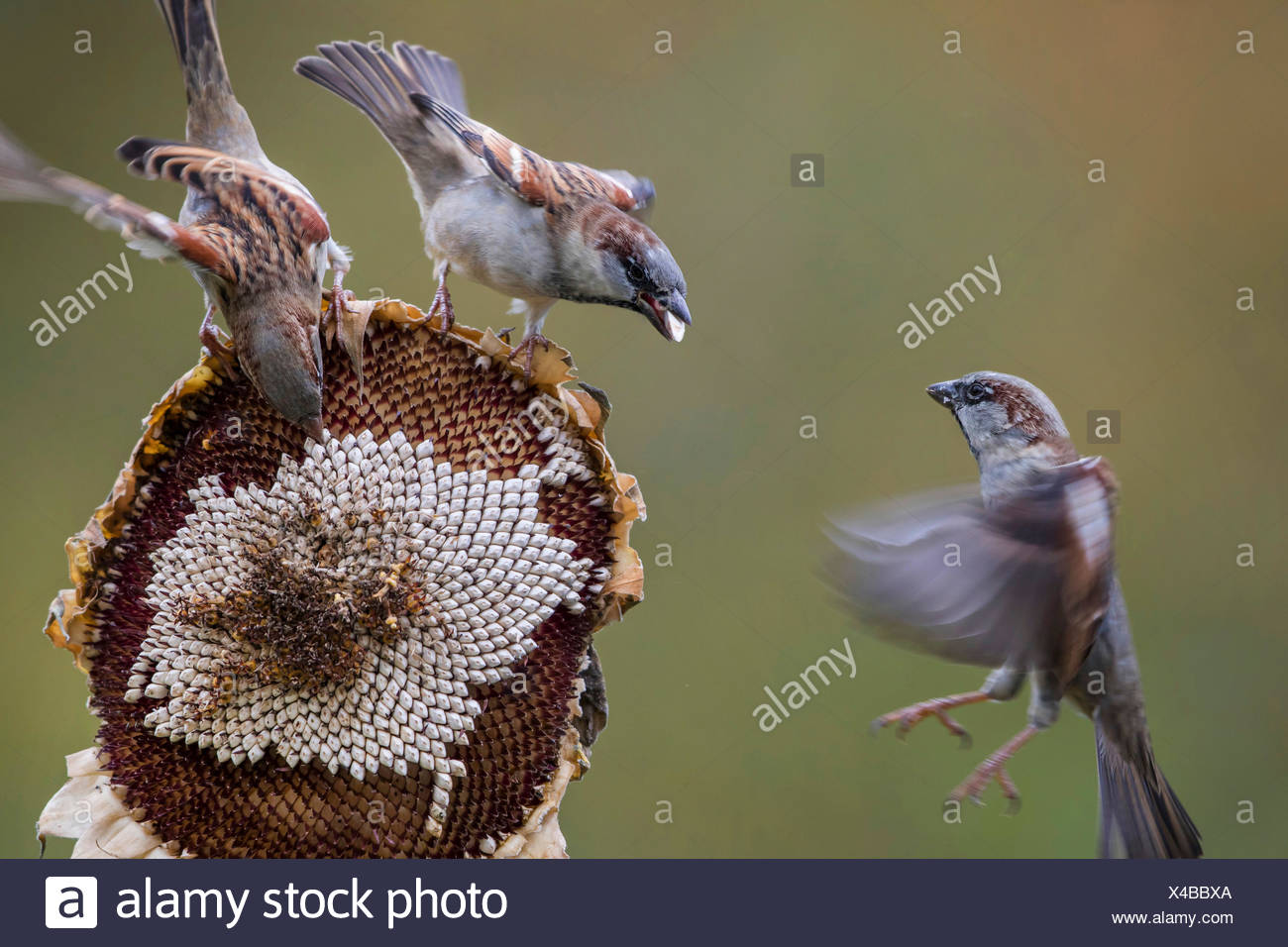 Haussperling, Haus-Sperling, Hausspatz, Haus-Spatz, Spatz (Passer domesticus), Spatzen fressen an einer Sonnenblume, Deutschland - Stock Image