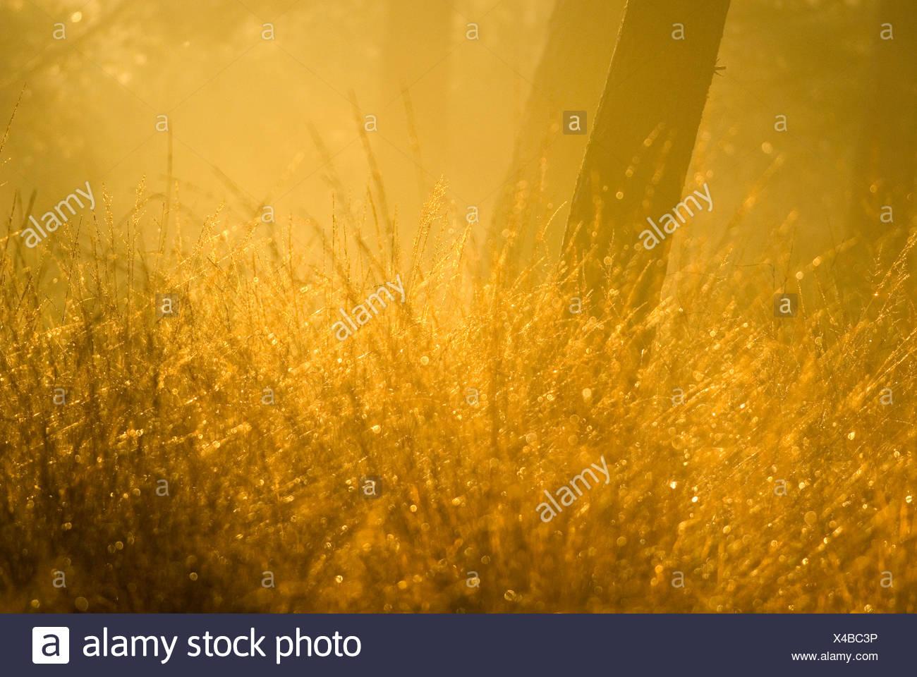 bochtige smele in naaldbos met gouden ochtendlicht; wavy hair-grass growing in pine forest bathed in golden licht - Stock Image