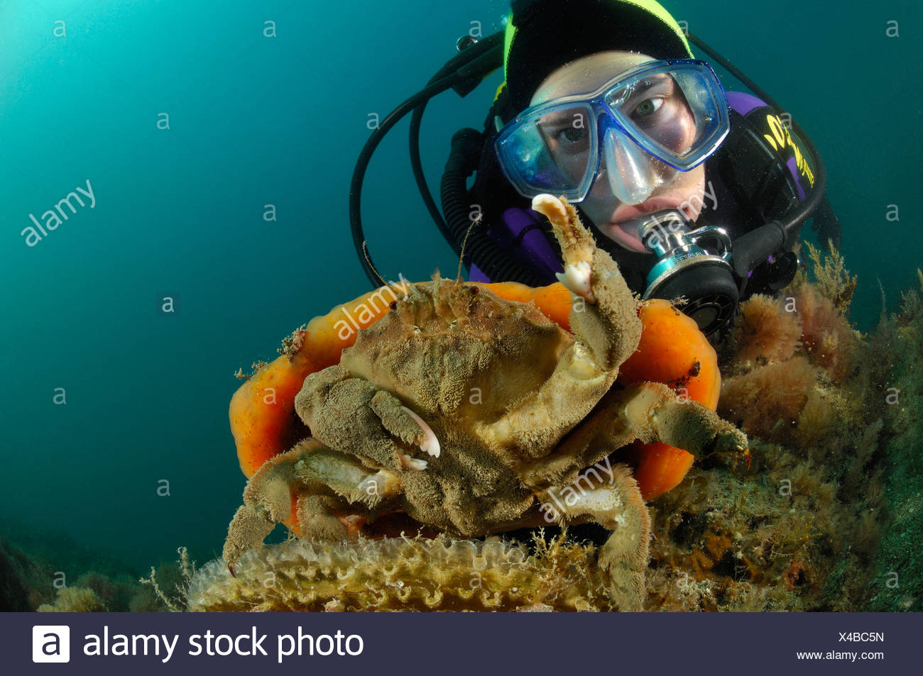 Sponge Crab carry orange Sponge, Dromia personata, Piran, Adriatic Sea, Slovenia - Stock Image