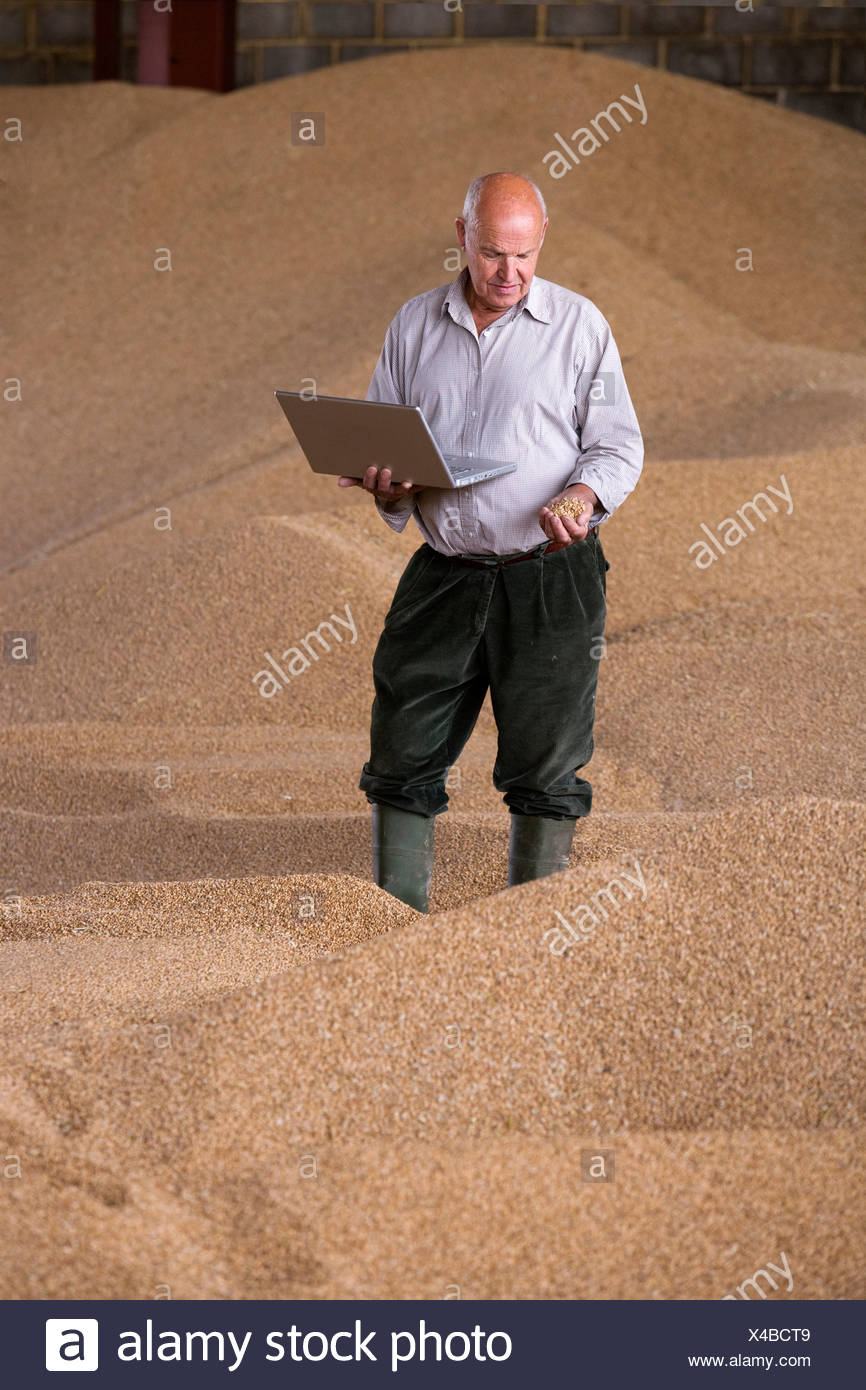 Farmer holding laptop and wheat grains on grain heap - Stock Image