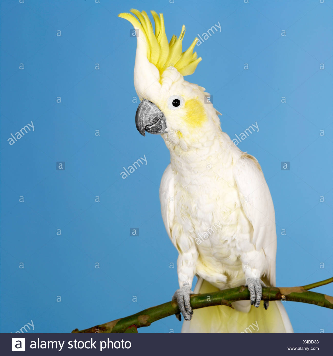 Sulphur Crested Cockatoo - Stock Image
