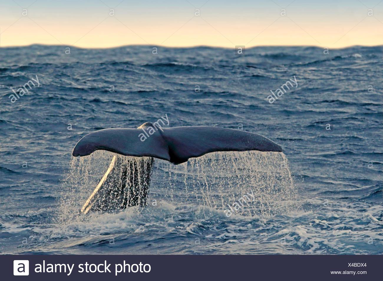 Spermwhale, Andöya Norway. - Stock Image
