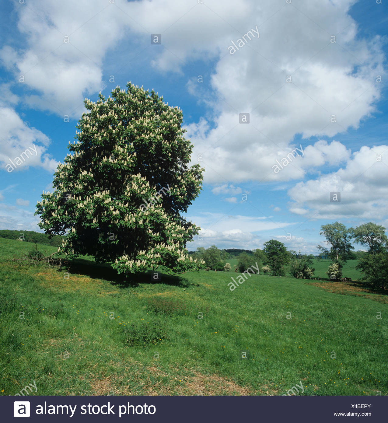 Horse chestnut Aesculus hippocastanum flowering tree in a Cotswolds field Stock Photo