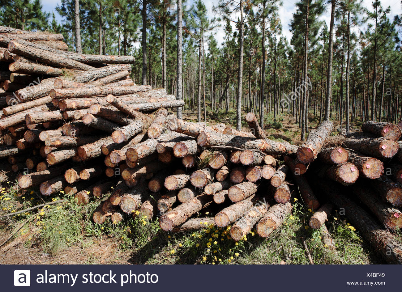 nobody, no one, no-one, outdoors, outside, day, pile, conifer, pinus, trees, logs, felled, chopped, natural resources, deforestation, stack, industry, industrial, forestry, botany, botanical, flora, plants, plant - Stock Image
