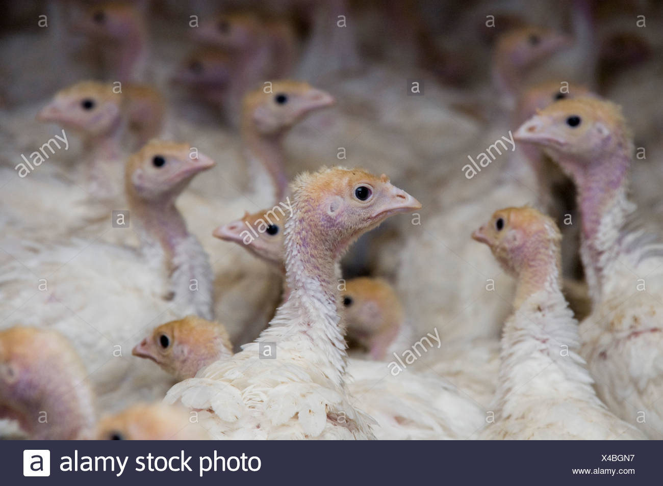 24 day old turkey hatchlings in a breeding coop.  - Stock Image