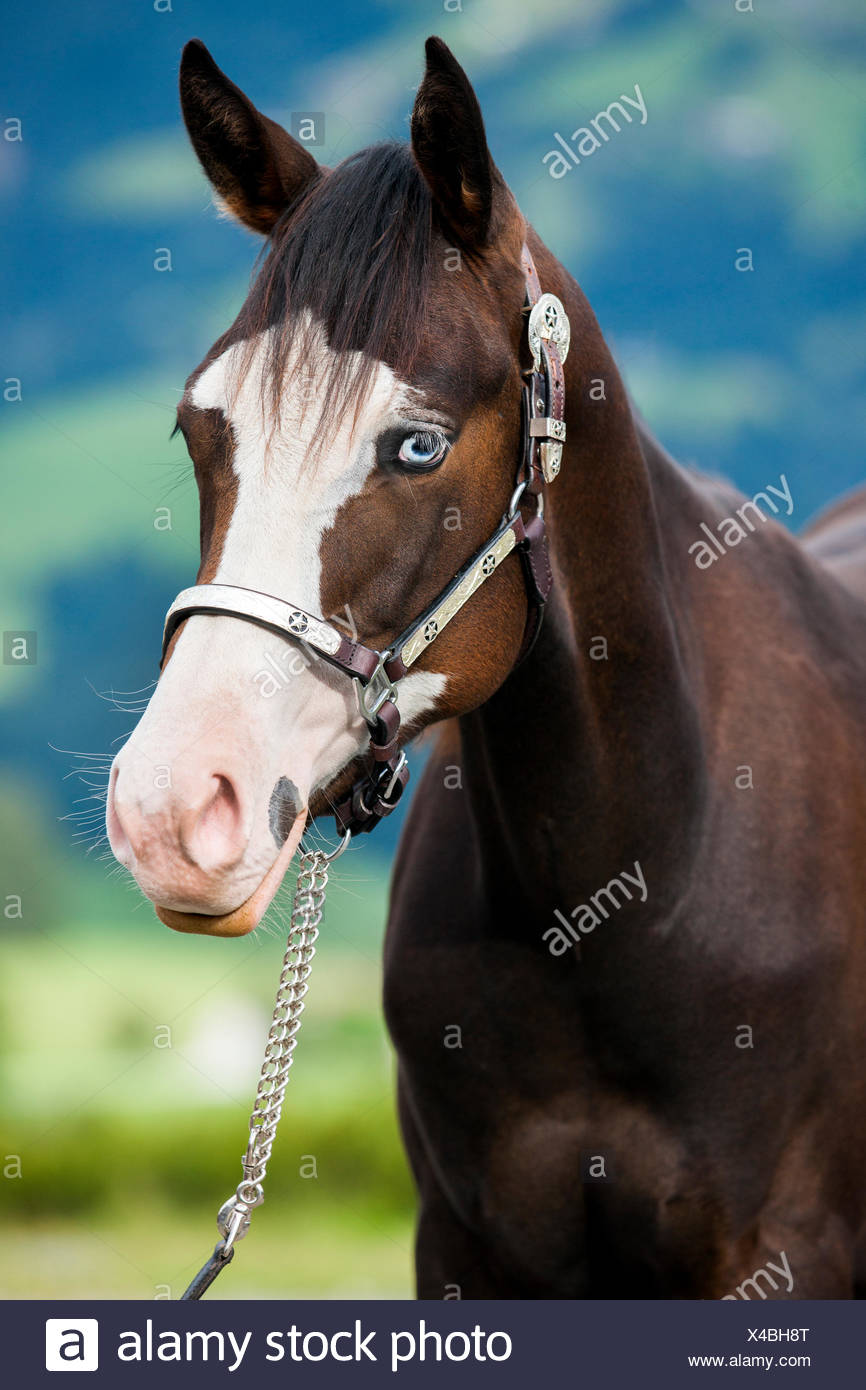 Paint Horse, bay horse with fisheye, fortrait with show holster - Stock Image
