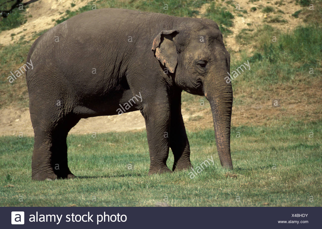 Asian elephant (captive) (Elephas maximus), showing whole body and small ears, and long trunk - Stock Image