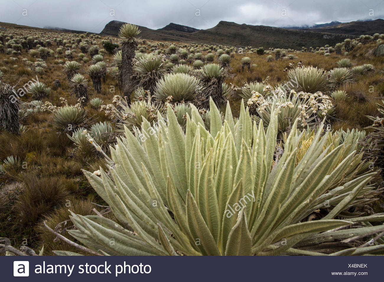 South America, Latin America, Colombia, nature, Sumapaz, national park, plants, vegetation, - Stock Image