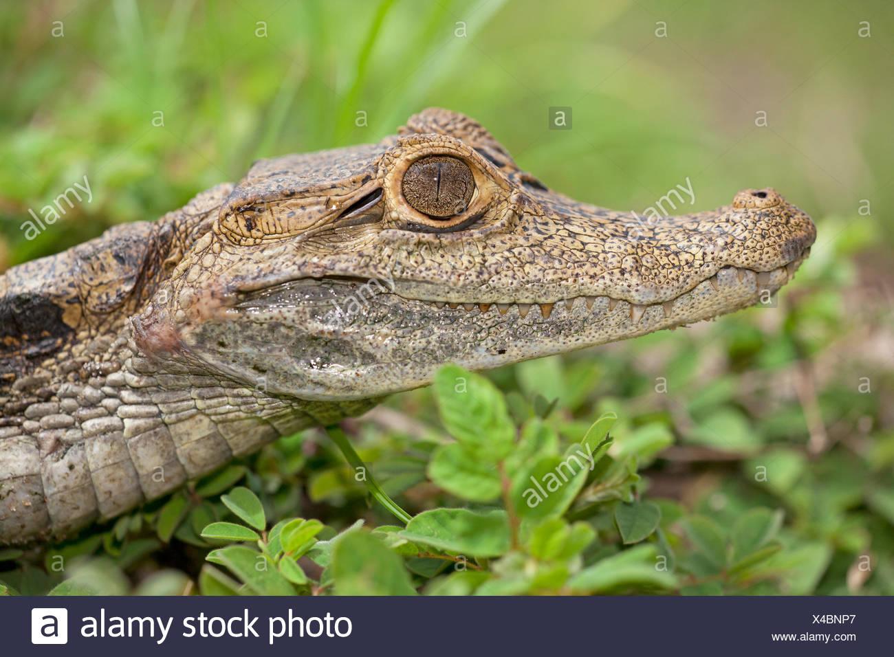 Portret van een brilkaaiman in het gras; portrait of a spectacled caiman in gras; - Stock Image
