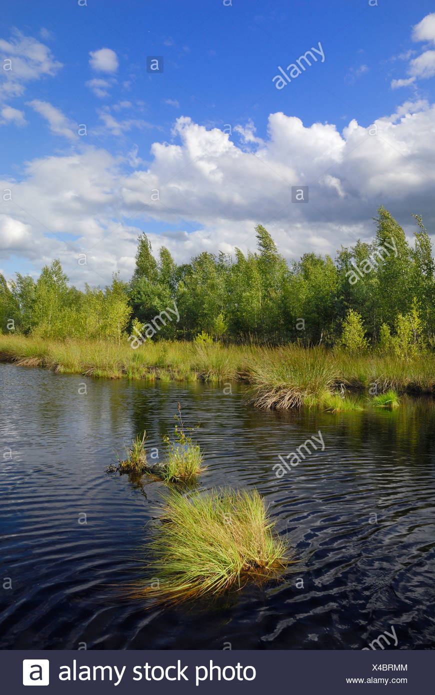Moor landscape with pond and birch grove (Betula pubescens), foothills of the Alps, Grundbeckenmoor area, Nicklheim, Bavaria, G Stock Photo
