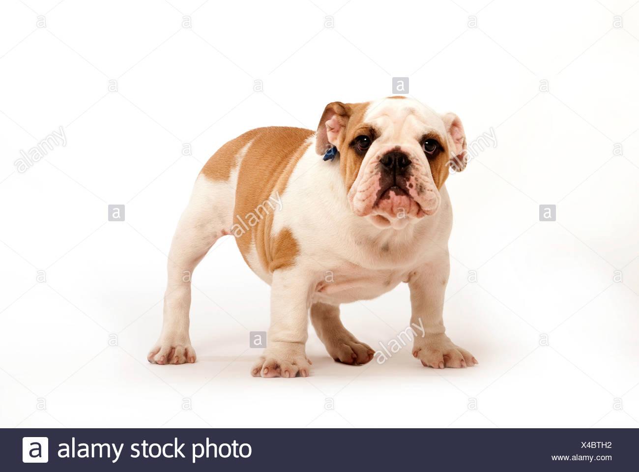 Bulldog Puppy Dog UK - Stock Image