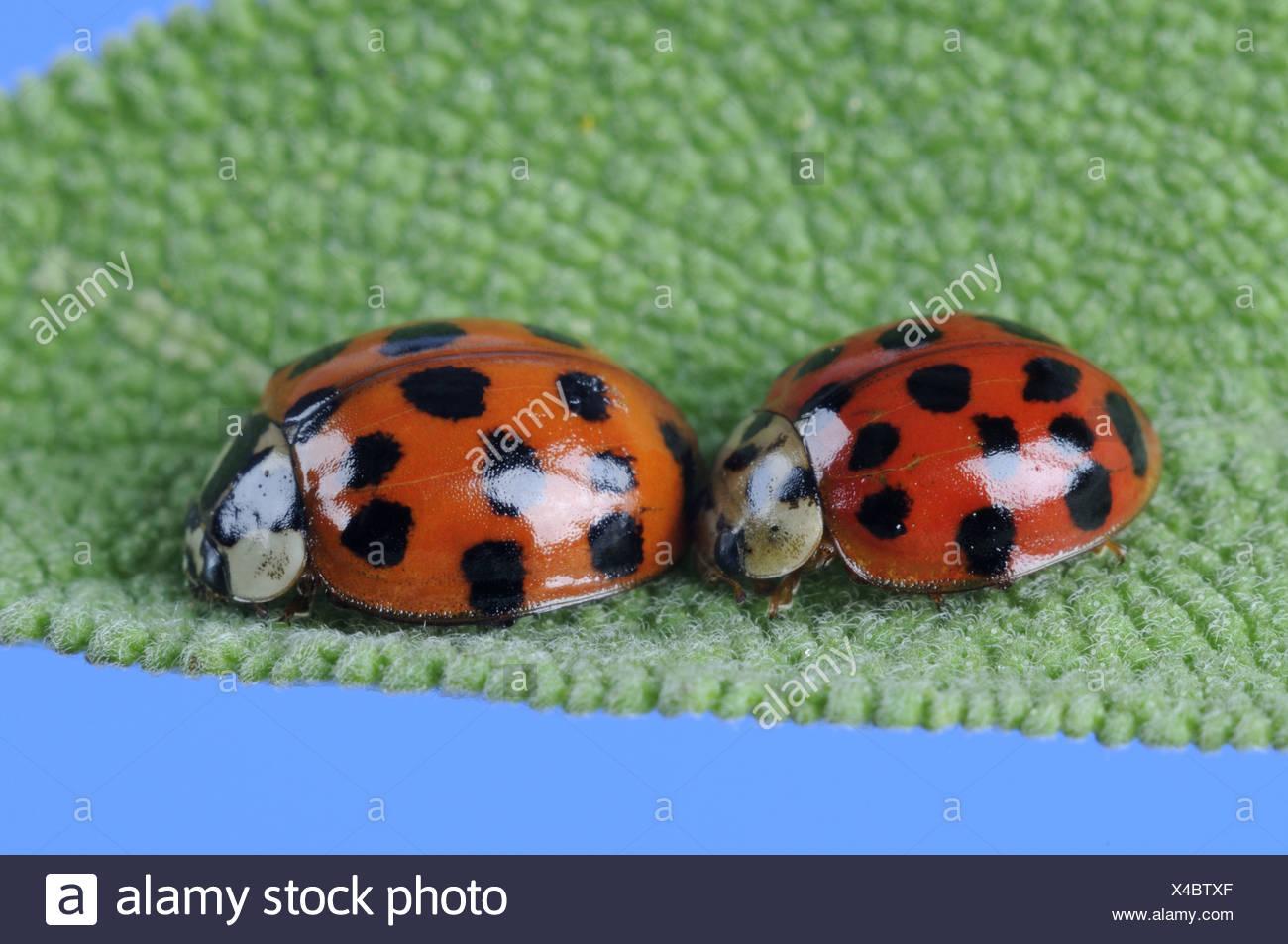 Asian lady beetle Stock Photo