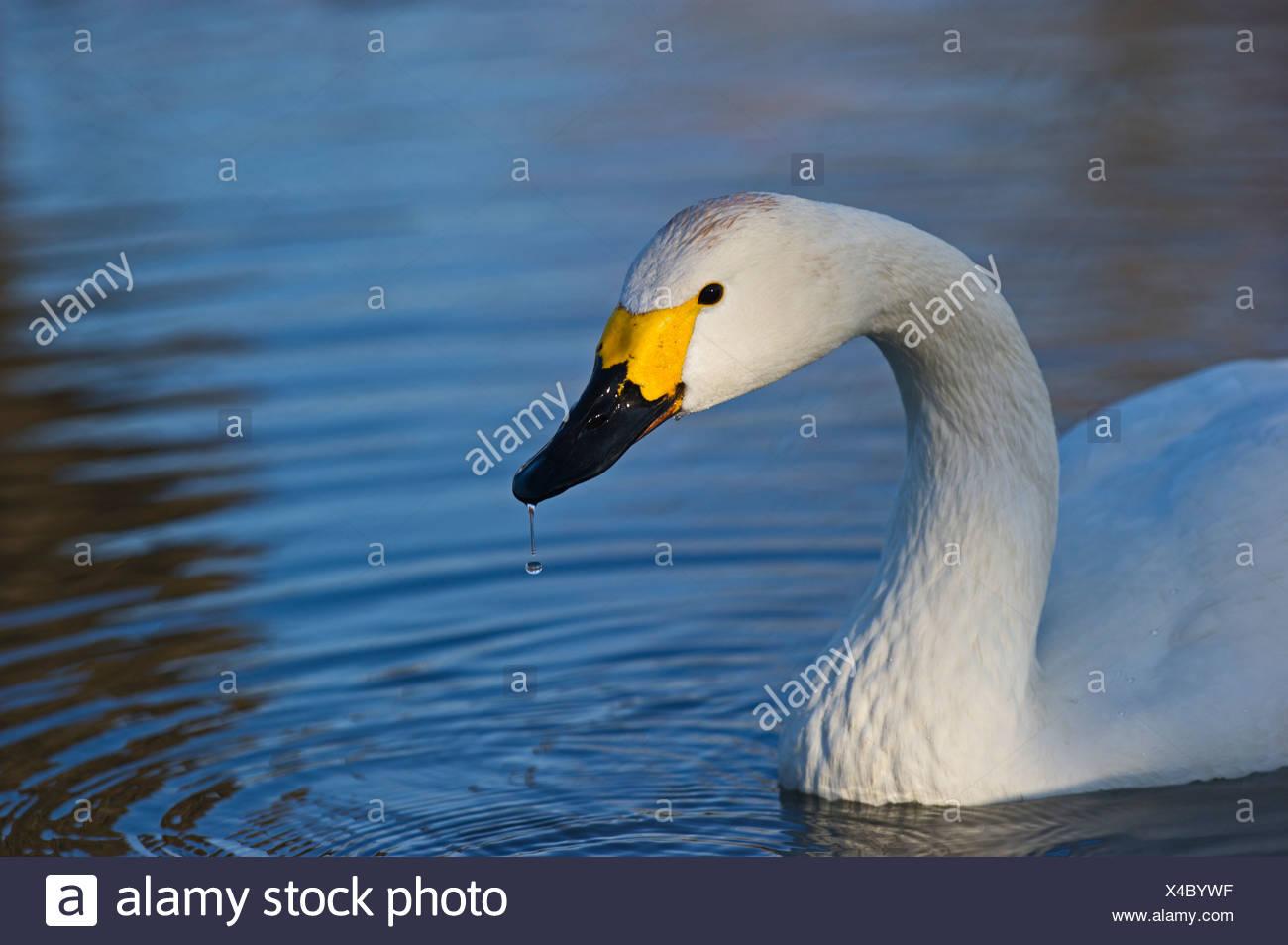 Bewick's Swan Cygnus columbianus Slimbridge Glos winter Stock Photo