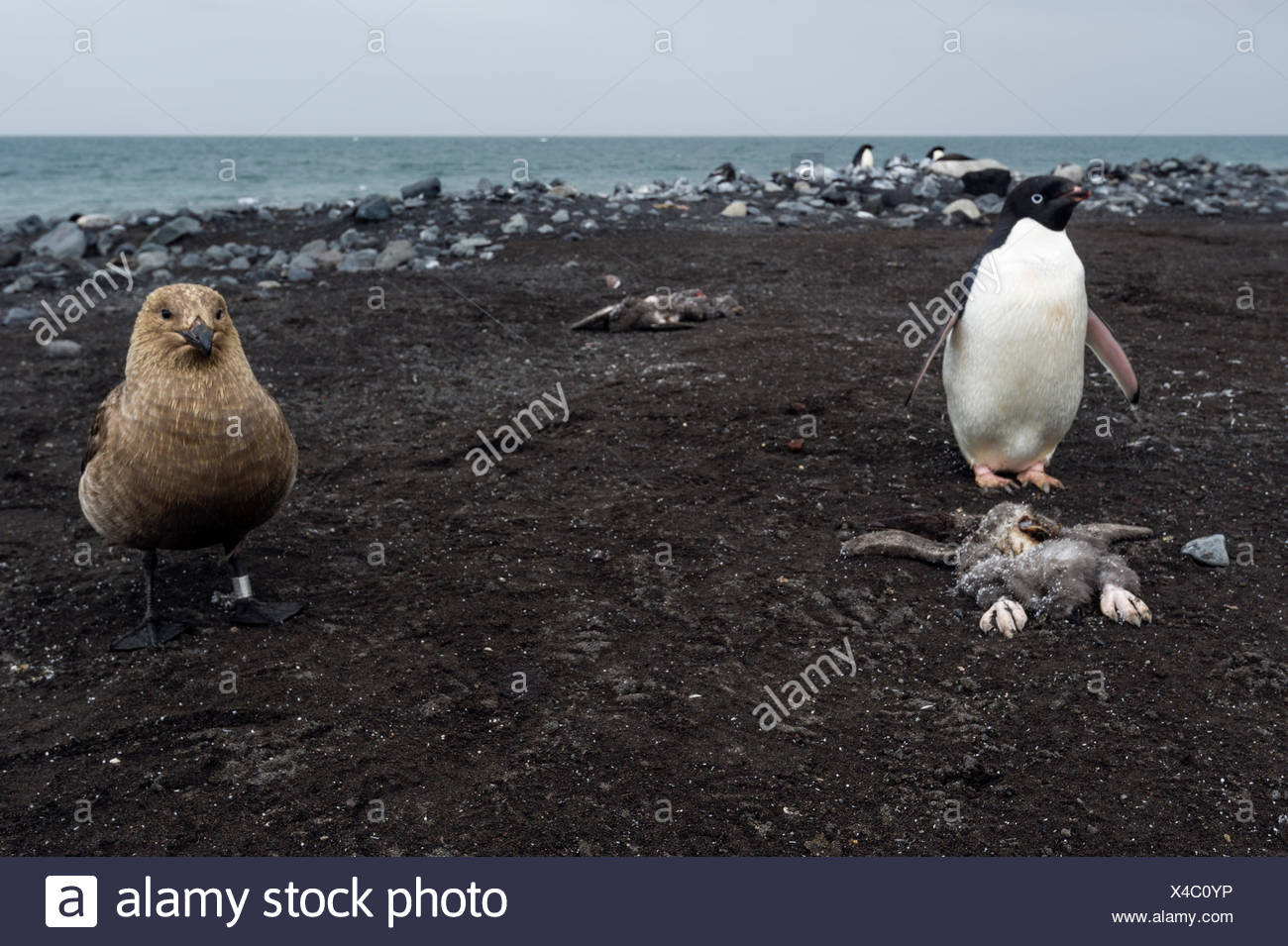 A South Polar Skua near a dead Adelie Penguin chick and it's parent on a beach in Antarctica. - Stock Image