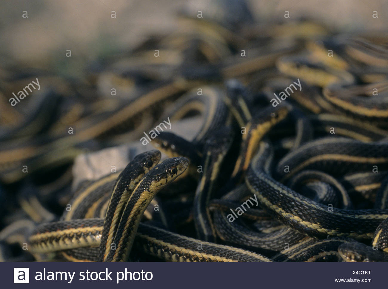 Mating ball of Red-sided garter snakes in spring coming out of hibernation near Inwood, Manitoba, Canada Stock Photo