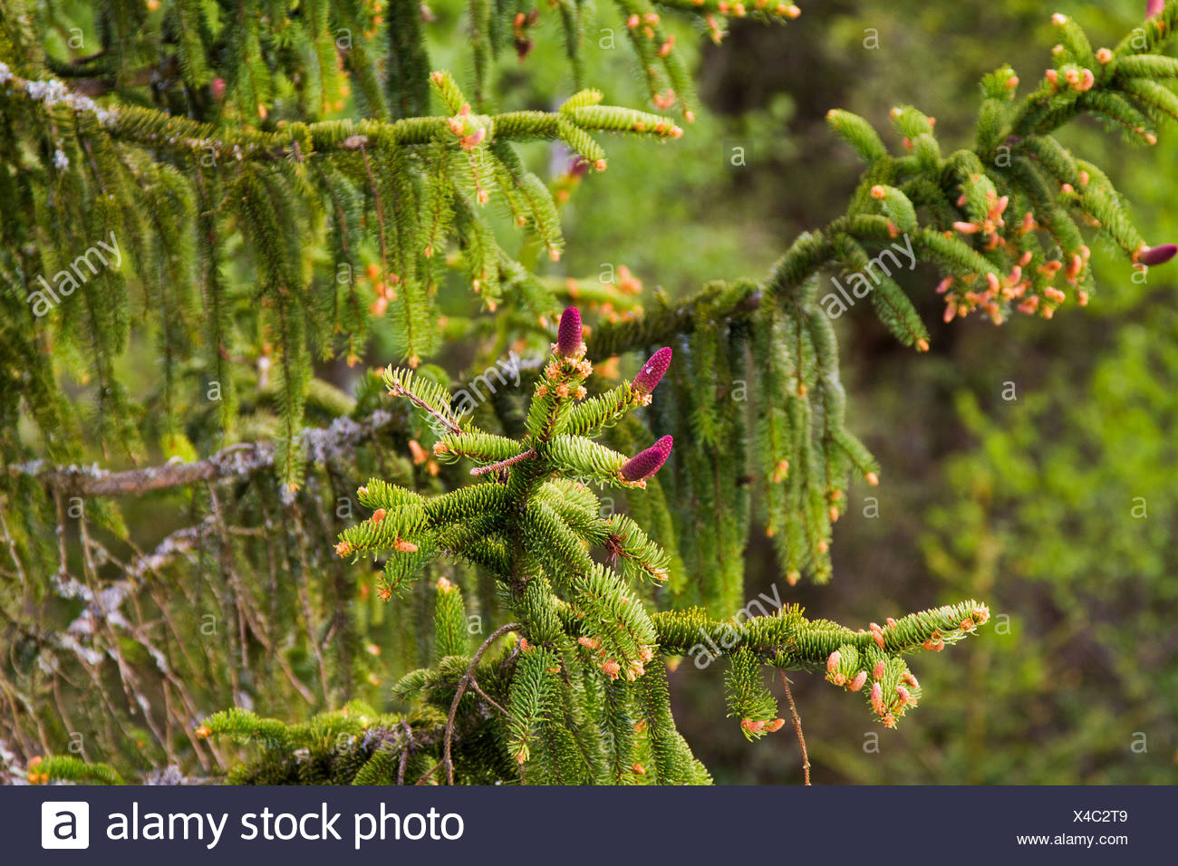 spruce (Picea spec.), blooming red cones on a branch, Germany, Bavaria - Stock Image