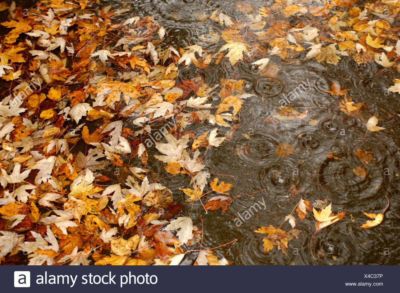 autumn foliage sheets leaves bad weather rains wood forest rainfall water wet weather Indian summer Edmun - Stock Image