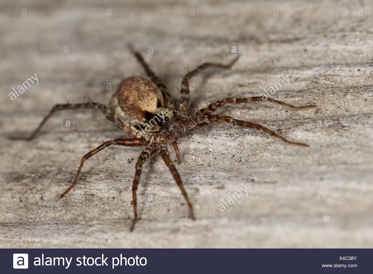 wolf spider, ground spider (Pardosa spec.), female carrying cocoon at the abdomen, Pardosa lugubris s.l. - Stock Image