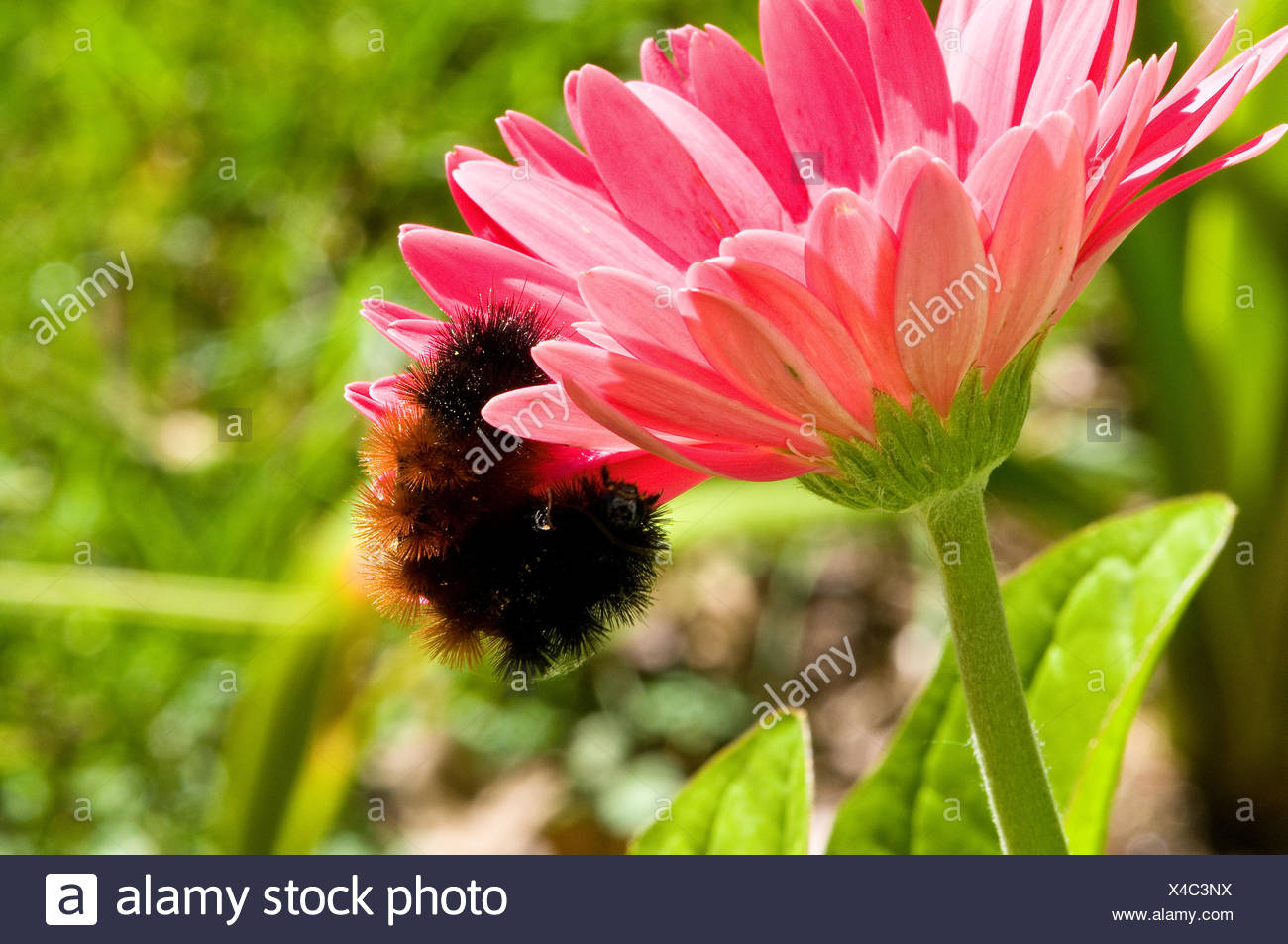 A banded wooly bear caterpillar on a pink gerbera daisy. - Stock Image