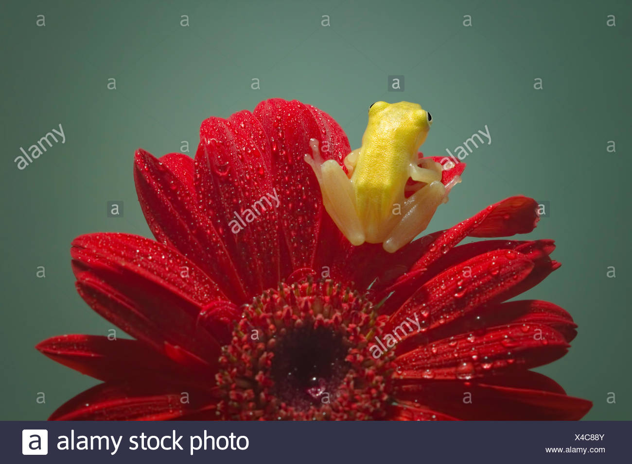 Rear view of a miniature frog sitting on a gerbera flower - Stock Image