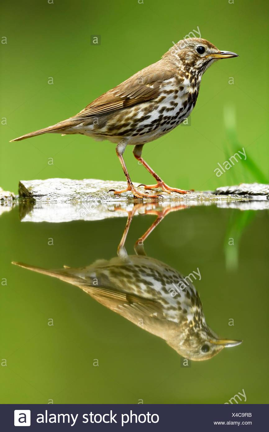 Song Thrush (Turdus philomelos), old bird with reflection, Kiskunság National Park, Hungary - Stock Image