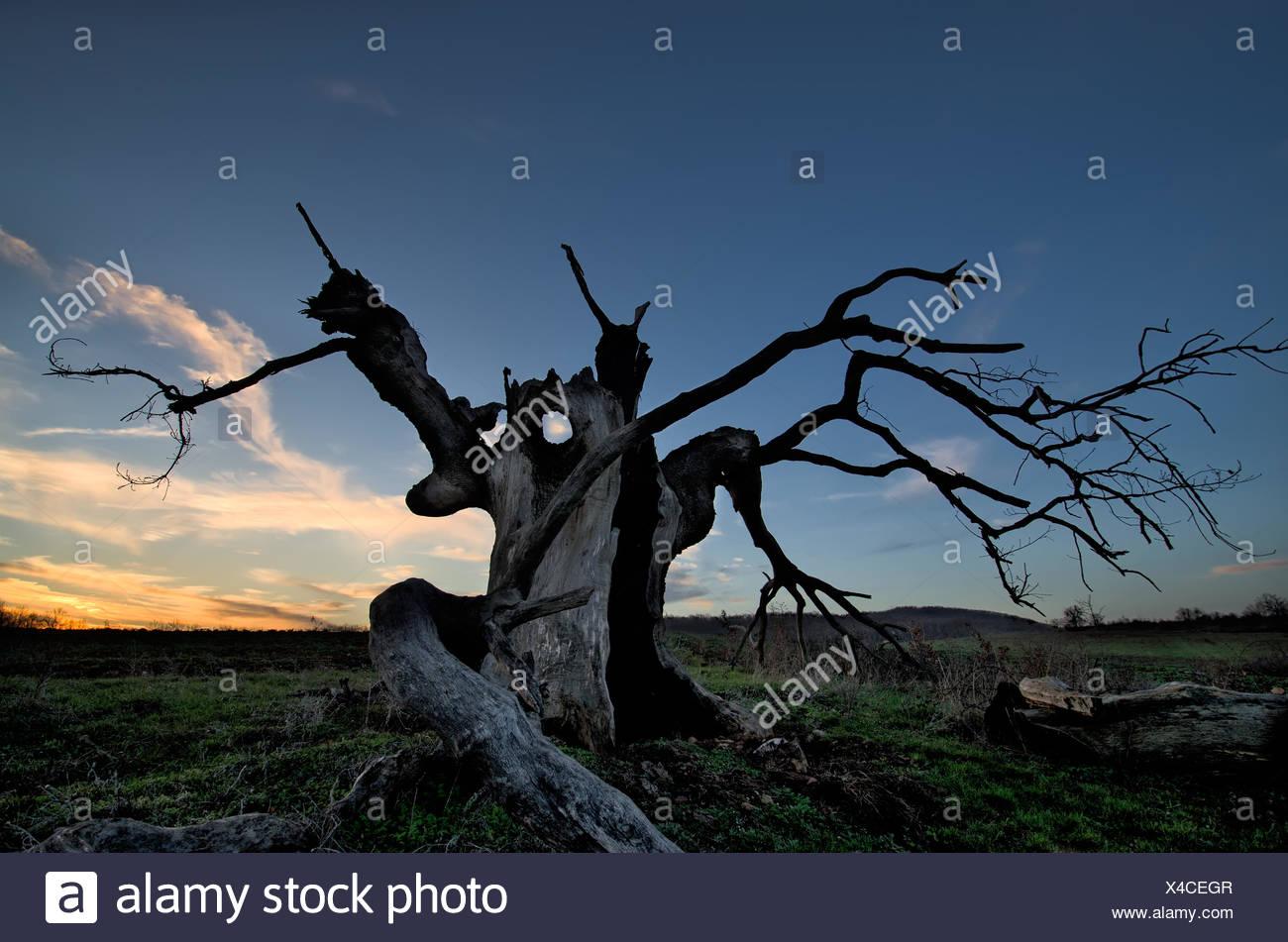 The creepy tree - Stock Image