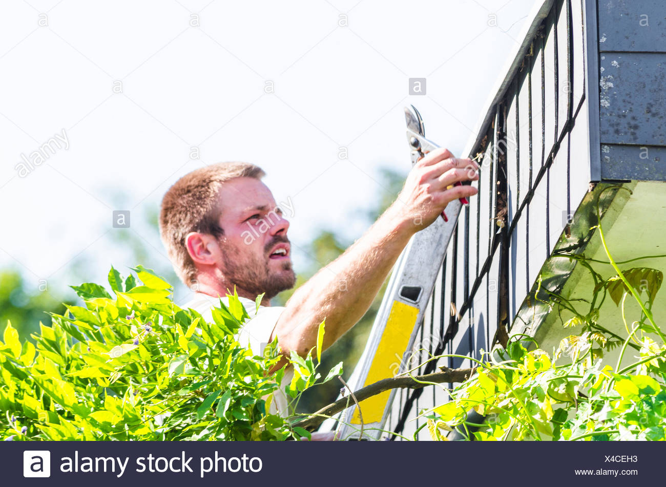 Trimming an ivy with hedge trimmer. - Stock Image