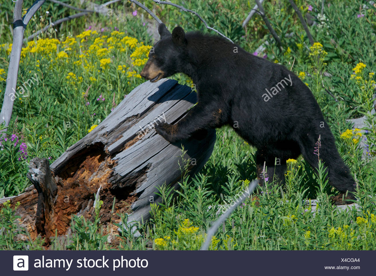 A black bear climbs up onto a dead log. - Stock Image