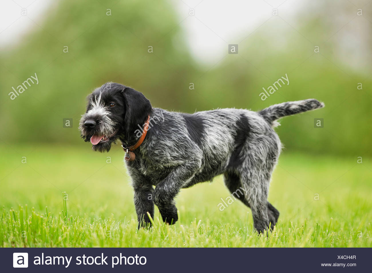 German wirehaired pointer dog - puppy on meadow Stock Photo ...
