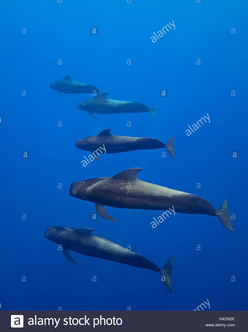 Short-finned pilot whales, open ocean - Stock Image