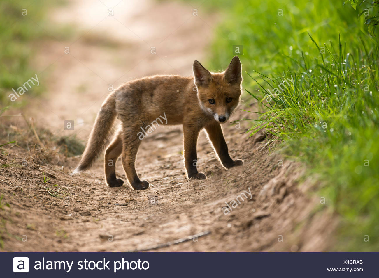 Young red fox (Vulpes vulpes) on path, Young Animal, Puppy, Baden-Württemberg, Germany - Stock Image