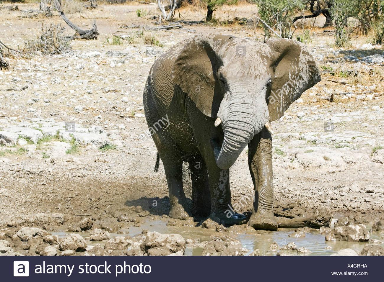 Elephant (Loxodonta africana) at a waterhole in Etosha National Park, Namibia, Africa Stock Photo