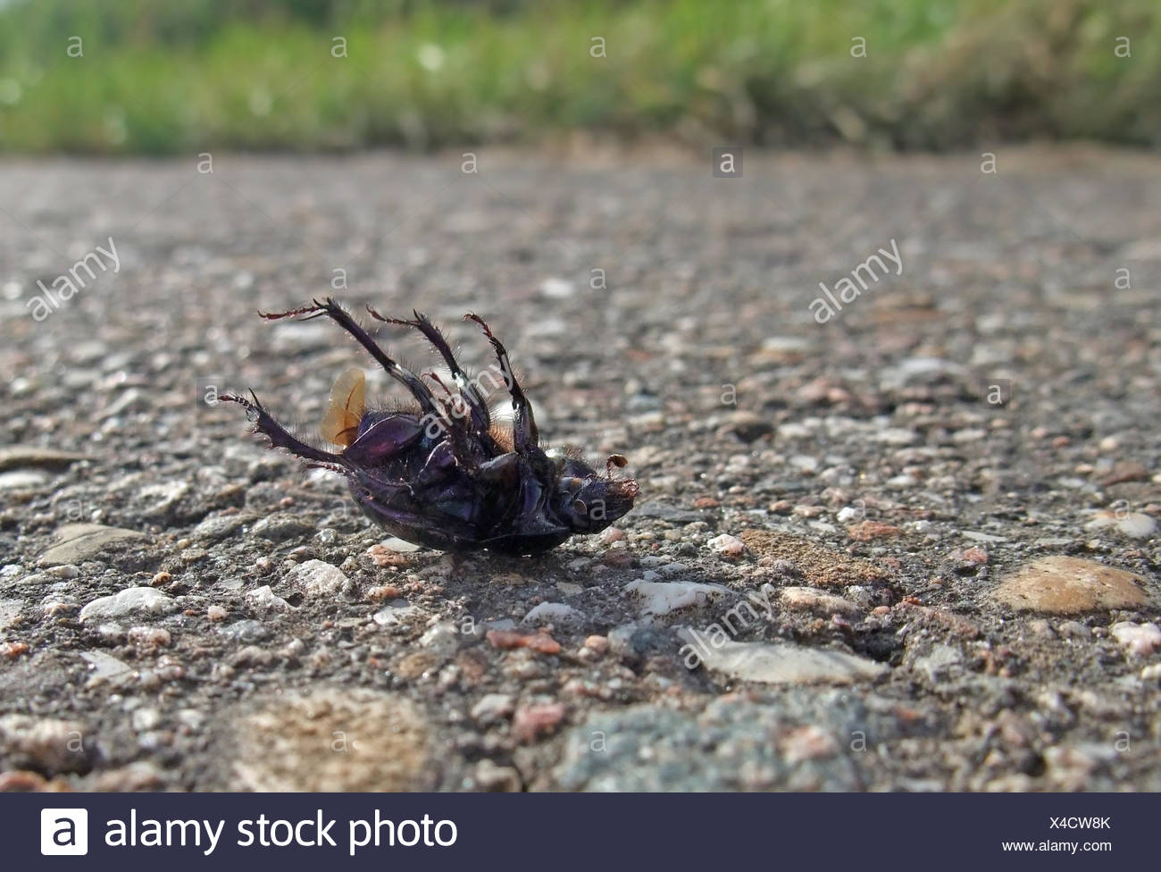 closeup showing a dead bug named 'Cysolina sturmi' supine on pavement in sunny ambiance - Stock Image