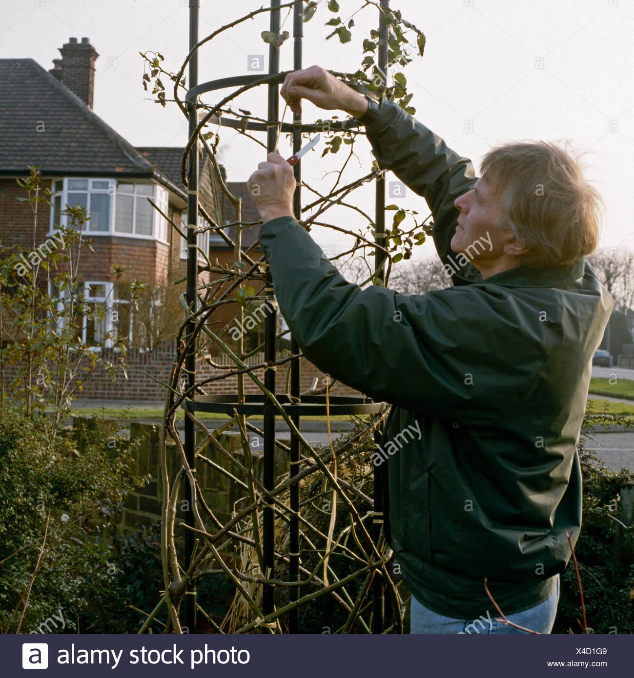 Pruning Climbing Rose Stock Photos Pruning Climbing Rose Stock