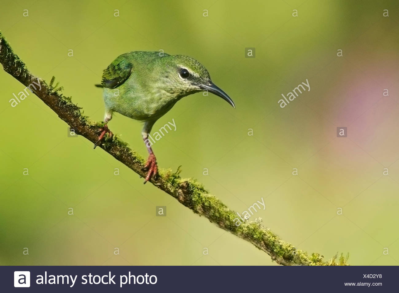 Red-legged Honeycreeper (Cyanerpes cyaneus) female on branch, Costa Rica - Stock Image