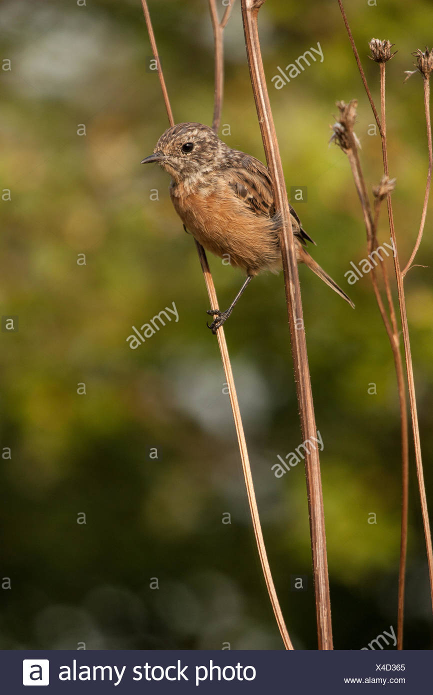 Young stonechat - Stock Image