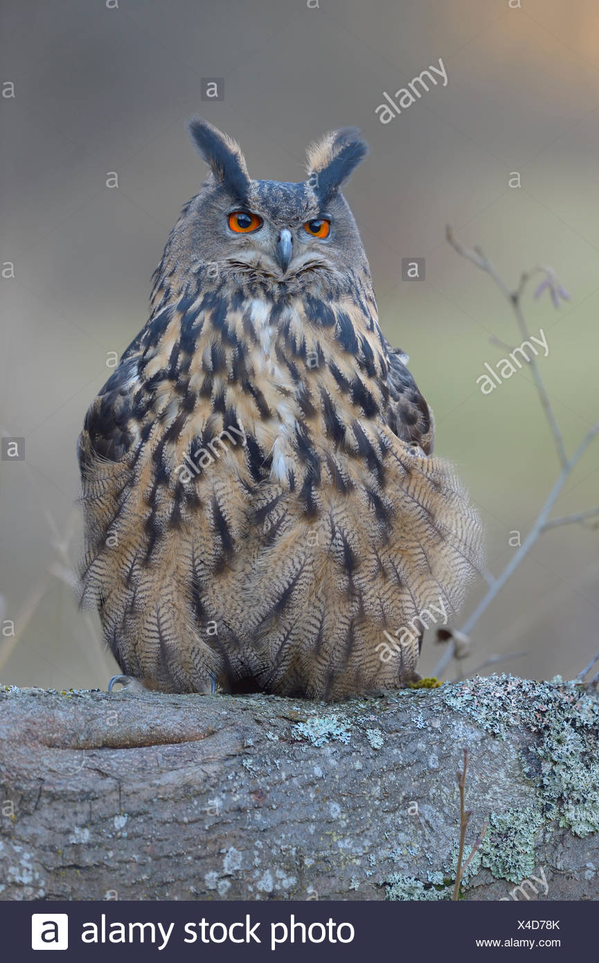 Eurasian eagle-owl (Bubo bubo), adult female perched on log, Sumava National Park, Bohemia, Czech Republic - Stock Image